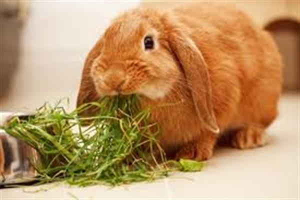Чем питается домашний кролик