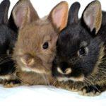 Продолжительность жизни кроликов обычных и декоративных