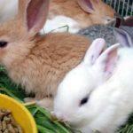 Рацион ручного кролика