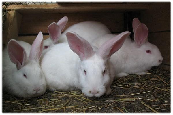 Большие кролики