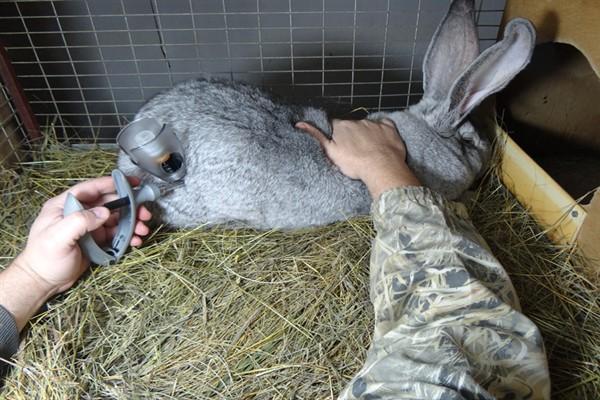 Прививание кролей
