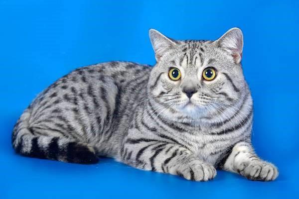 Серебристый окрас кота
