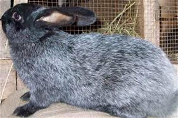 Кроль породы серебро