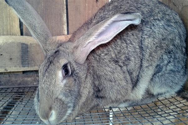 Порода кроликов великан