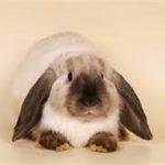 Кролик декоративный, карликовый баран