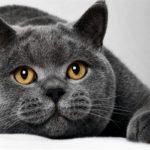 Британская кошка, внешний вид характеристика