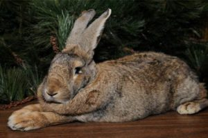 Порода больших кролей
