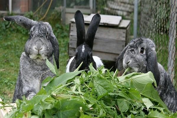 Сочный корм для кролей