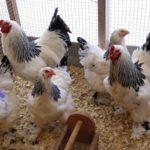 Лучшие породы кур мясо яичных с фото и описанием
