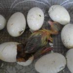 Режим инкубации гусиных яиц