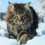 Коты породы Мейн кун описание и содержание