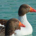 Сколько живут дикие гуси и домашние