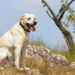 Собака лабрадор ретривер: характеристика породы