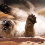 Характер и описание сиамской кошки