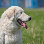 Порода собак — итальянская, мареммо абруцкая овчарка