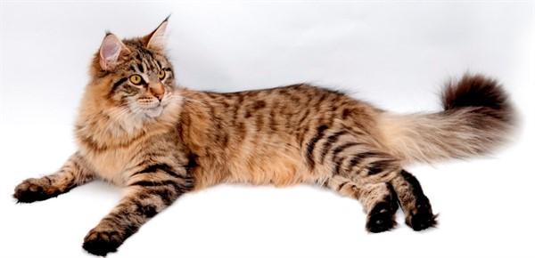 Кот Мейн