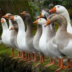 Лучшие породы гусей с фотографиями и названием