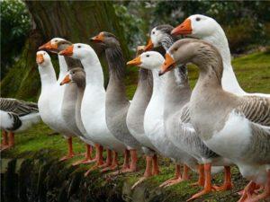 Про породы гусей