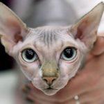 Лысые кошки сфинкс