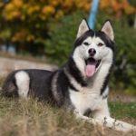 Сибирская Хаски – особенности породы