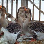 Холмогорские гуси: описание породы и содержание