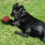 Порода собак кане корсо: описание, характер и содержание