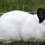 Калифорнийская порода кроликов: фото и описание породы