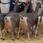 Козы молочных пород – какие лучше