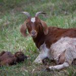 Окот у козы – первые признаки и что нужно еще знать