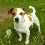 Описание охотничьей собаки – Джек Рассел терьер