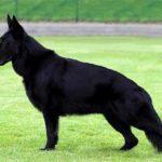Черная немецкая овчарка – описание, характер