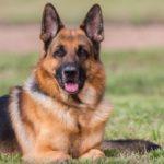 Породы собак – немецкая овчарка