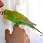 Волнистые попугайчики – учим разговаривать