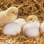 Выращивание бройлеров: уход и кормление цыплят в домашних условиях