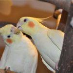 Сколько живет попугай – породы корелла