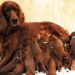 Сколько ходят беременные собаки любых пород