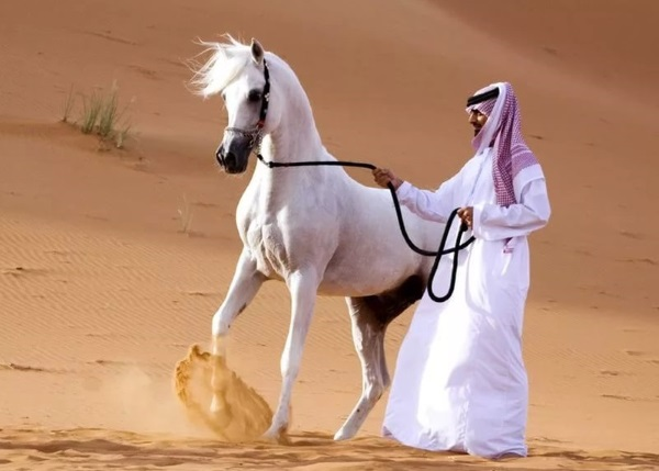 Чистокровные Арабский