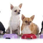 Чем и как правильно кормить собаку чихуахуа в домашних условиях