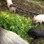 Что едят свиньи – кормление в домашних условиях