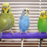 Как определить возраст у волнистого попугая – признаки отличия