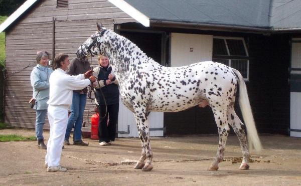 Фото лошади кнабструбской породы