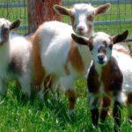 Сколько лет живут козы различного направления
