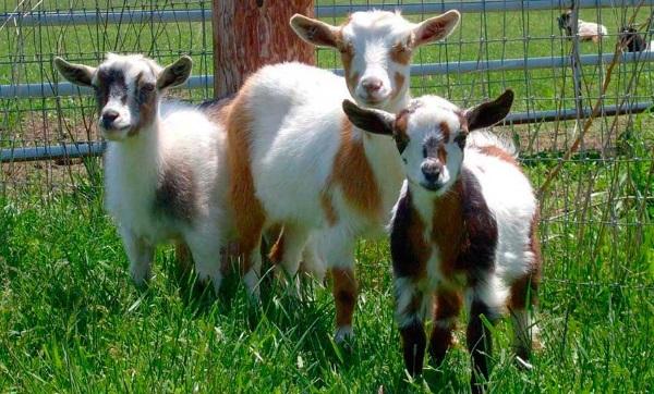 Сколько проживет коза
