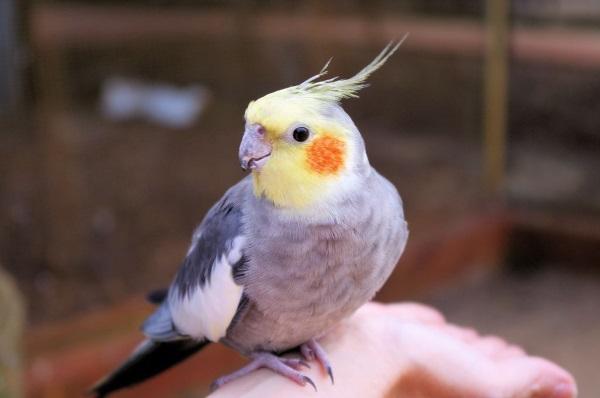 Как научить птичку разговаривать