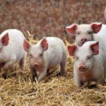Домашнее разведение свиней – для начинающих