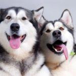 Сахалинский хаски – северная ездовая собака