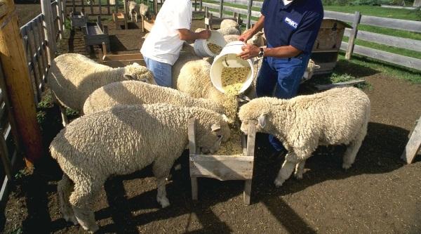 Рацион питания овец