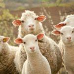 Как начать разводить овец в домашних условиях – рекомендации начинающим