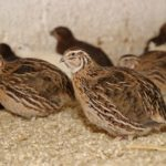 Чем кормить мясных и яичных перепелок – в домашних условиях
