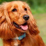 Порода собак – английский кокер-спаниель